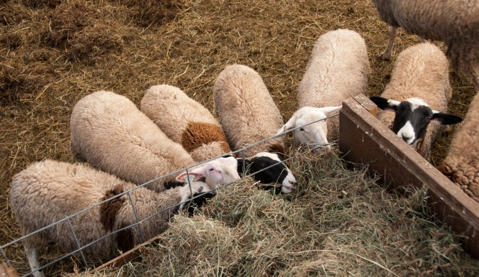 sheep_clump2-65a77597df